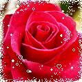 了解有神奇供销的玫瑰